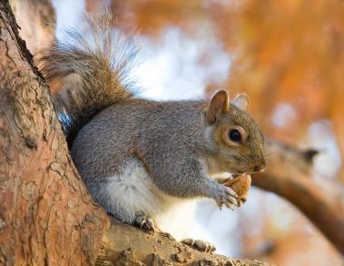 La ardilla gris es un ejemplo de especie invasora que se podría ver beneficiada por la presión de los grupos animalistas.
