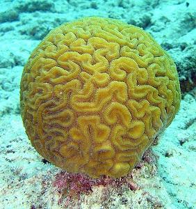 Los corales son un importante ejemplo de simbiosis con zooxantelas.