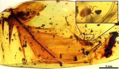 Una garrapata apareció en este trozo de ámbar junto a la pluma de un dinosaurio. Crédito de la foto: Peñalver et al.