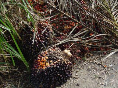 Frutos de la palma aceitera.