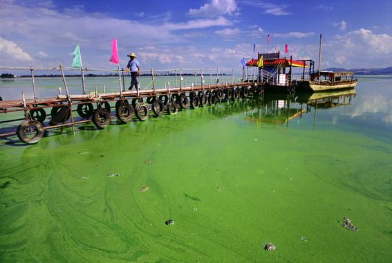 El lago Dianchi (China) eutrofizado.