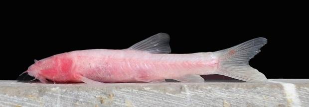 Garra tashanensis es una nueva especie de pez de las cuevas descubierta en Irán.