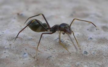 Aunque parece una hormiga, un análisis de cerca nos revela el engaño. Podemos apreciar que tiene cuatro patas en uno de sus laterales. En total serían 8, por lo que es una araña. Además no presenta antenas.