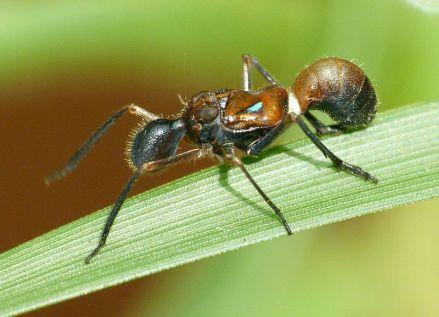 Ejemplar macho de Formiscurra indicus. ¿Podéis ver dónde tiene los ojos?