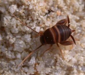 Los grillos de la especie Myrmecophila acervorum engañan a las hormigas imitando su comunicación con las antenas.