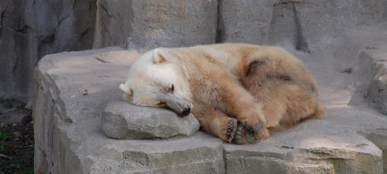 Cada vez en más frecuente el cruce entre osos grizzly y polares.