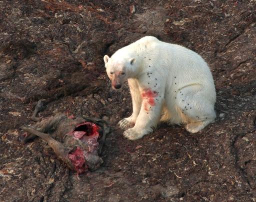 El cambio climático está llevando a los osos polares a alimentarse de presas como el karibú. Crédito de la foto: American Museum of Natural History/R. Rockwell.