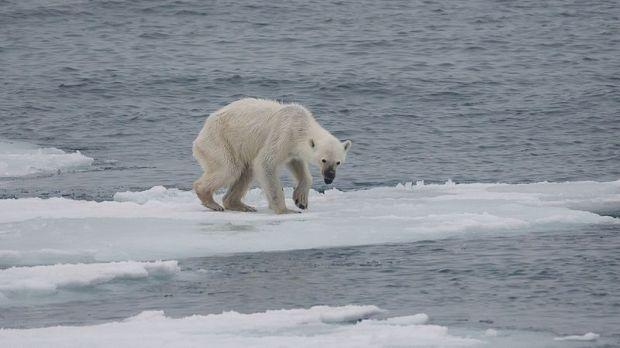 Los osos polares dependen de la capa de hielo para poder cazar focas. Sin ella, pueden acabar muriendo de hambre. Crédito de la foto: Andreas Weith