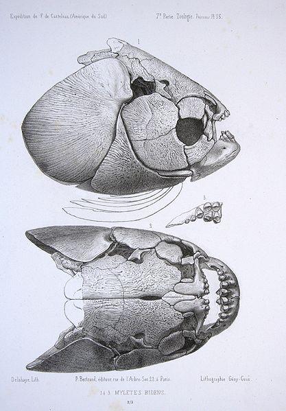 Ilustración del año 1856 del cráneo del pacú panza roja (Piaractus brachypomus)