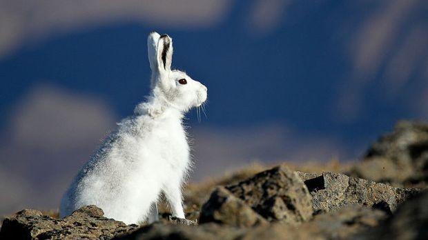 Algunas especies como la liebre ártica están desplazando sus poblaciones hacia el norte debido al cambio climático. Necesitan la nieve para que su camuflaje sea efectivo. Crédito de la foto: Michael Haferkamp.