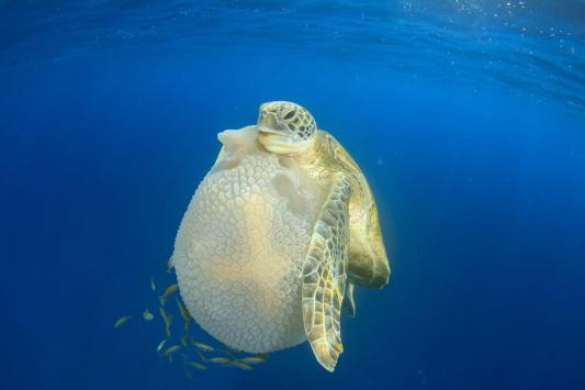 Tortuga verde (Chelonia mydas) sosteniendo una medusa (Thysanostoma thysanura). Crédito de la foto: Rich Carey/Shutterstock.com