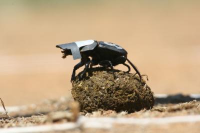 Los investigadores tuvieron que ponerles viseras a los escarabajos peloteros para bloquear la luz y así demostrar que usaban los cuerpos celestes como guías. Crédito de la fotografía: Marcus Byrne.