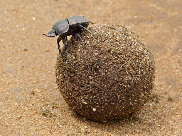 El baile del escarabajo pelotero. Crédito de la fotografía: Bernard Dupont.