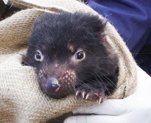 Un tomar facial, que se transmite entre individuos, ha llevado al borde de la extinción al demonio de Tasmania. Crédito: WSU.