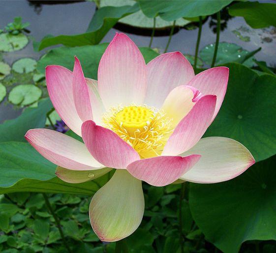 Una semilla de loto (Nelumbo nucifera) germinó después de 1.300 años. rédito: T.Voekler