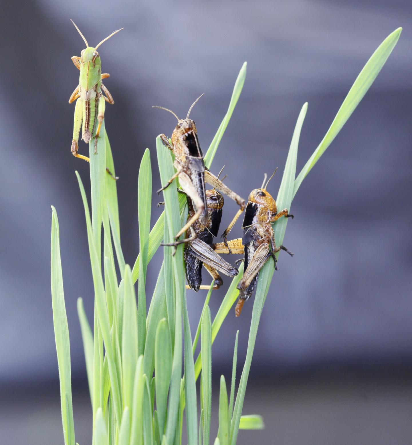 La langosta migratoria (Locusta migratoria) cambia de color si se encuentra en grupo. Crédito: Yang, Wang, Liu et al., eLife, 2019
