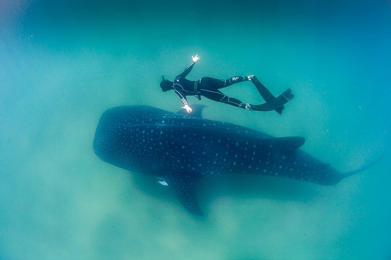 El tiburón ballena (Rhincodon typus) es el pez más grande que existe. Crédito: Feefiona123