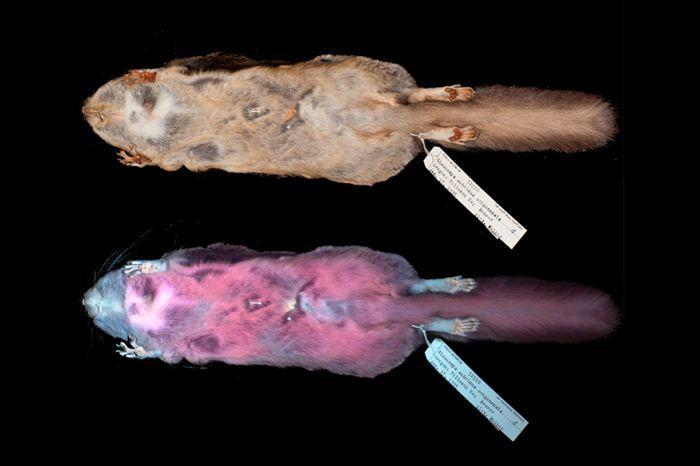 Las ardillas voladoras de América del Norte se vuelven rosas cuando se las ilumina con luz ultravioleta. Crédito: Kohler et al.