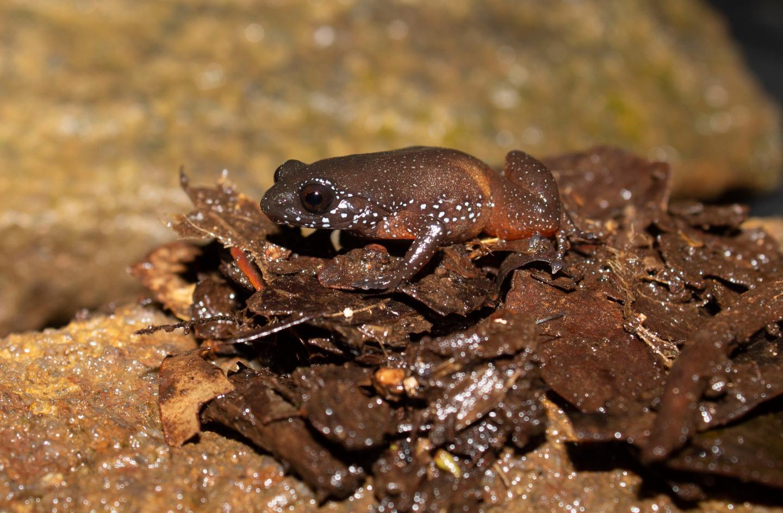 La nueva especie de rana ha sido bautizada como Astrobatrachus kurichiyana.