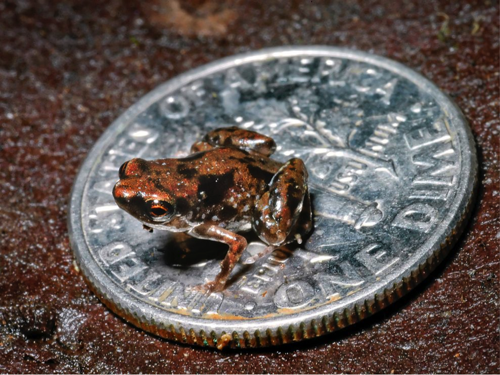 Paedophryne amauensis es la especie de vertebrado más pequeño del mundo. 📷: Rittmeyer EN, Allison A, Gründler MC, Thompson DK, Austin CC.