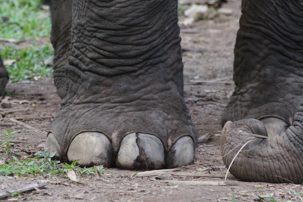 Los pies de los elefantes tienen una circunferencia de más de 1 metro. Crédito: Jane Lofthouse.