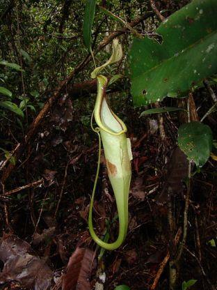 Las jarras de Nepenthes hemsleyana son usadas como refugio por murciélagos. Crédito: Vincent Bazile