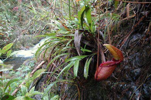 Algunas especies de mosquitos sólo crían dentro de las jarras de la planta carnívora Nepenthes rajah. Crédito: JeremiahsCPs