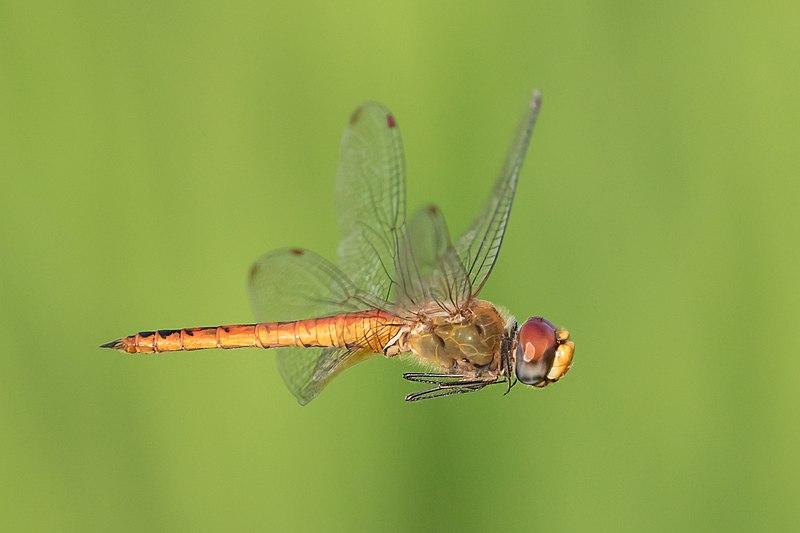 La libélula Pantala flavescens es el insecto que realiza la migración más larga
