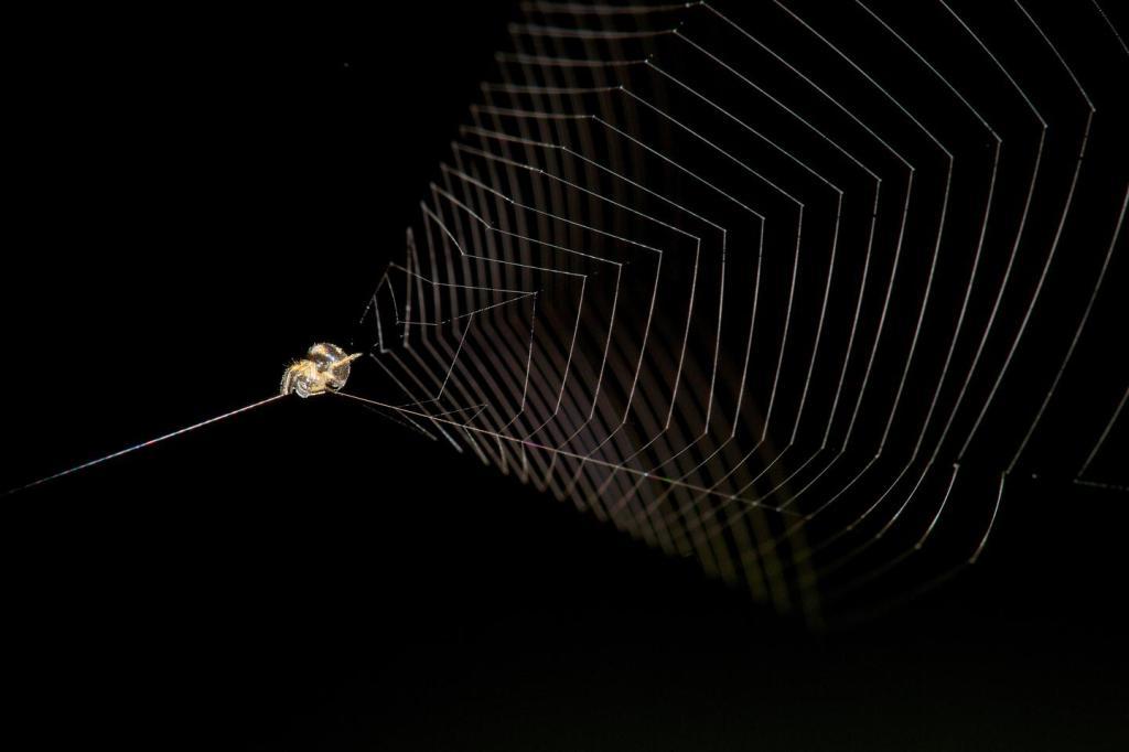 Una araña tirachinas preparada para capturar su próxima cena.