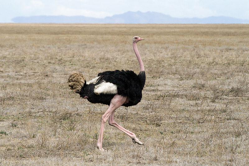 El avestruz está adaptado (Struthio camelus) para carreras cortas y largas.