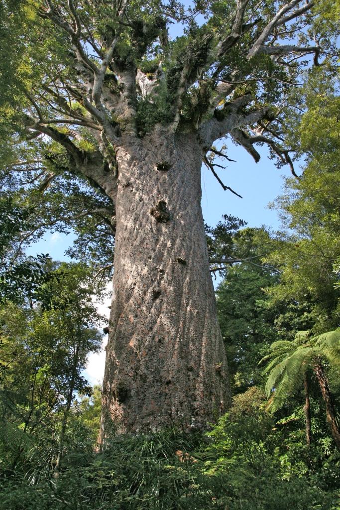 Tāne Mahuta, el Dios del Bosque, es un ejemplar de kauri de la especie Agathis australis.