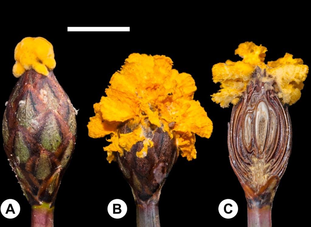 Fusarium xyrophilum es un hongo capaz de imitar las flores de las plantas que infecta para atraer insectos.