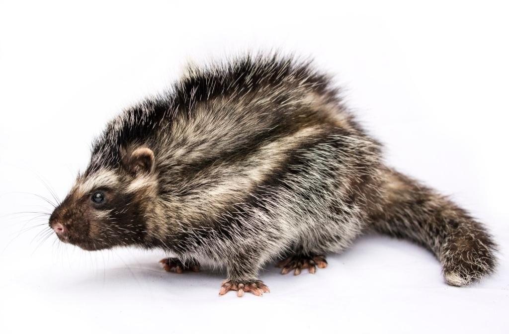 Rata crestada africana (Lophiomys imhausi)