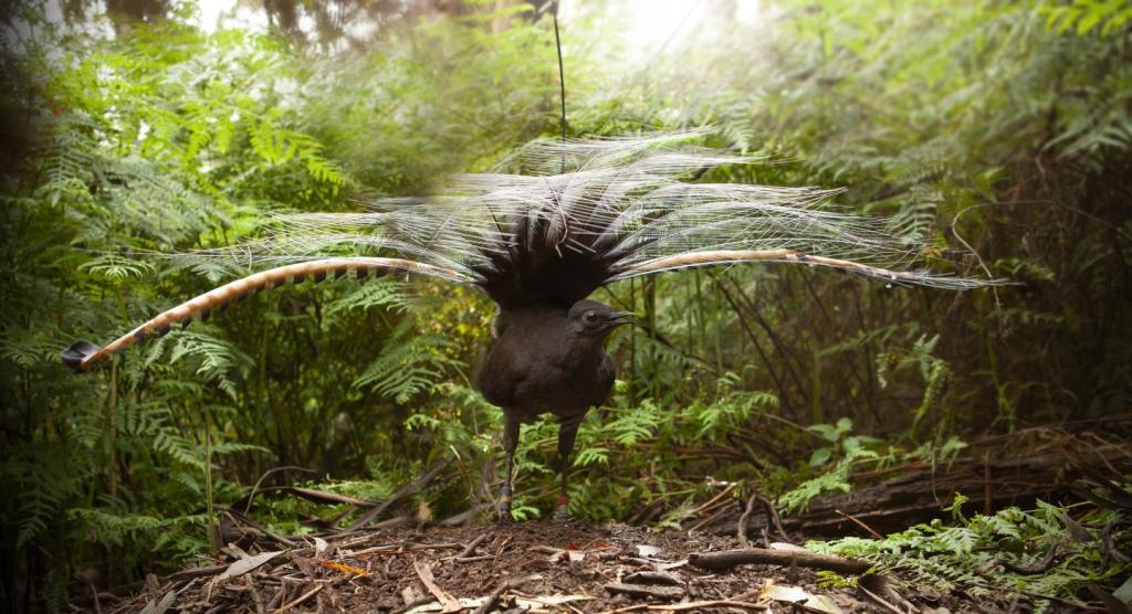 Macho de ave lira soberbia (Menura novaehollandiae) durante el cortejo.