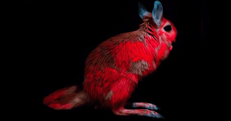 Las liebres saltadoras (Pedetes capensis) se vuelven de color rojo cuando son iluminadas con luz ultravioleta gracias a la biofluorescencia