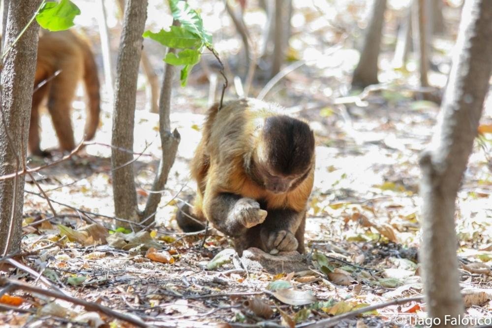 Mono capuchino (Sapajus libidinosus) usando piedra como herramienta