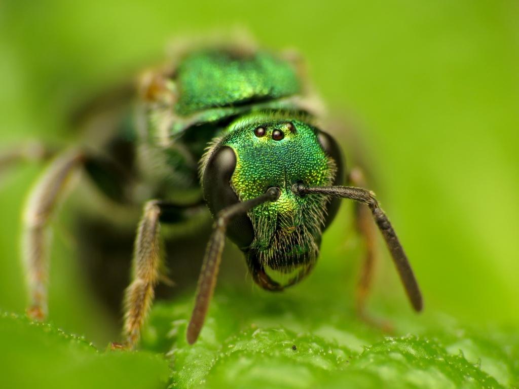 Abeja del género Augochlorella