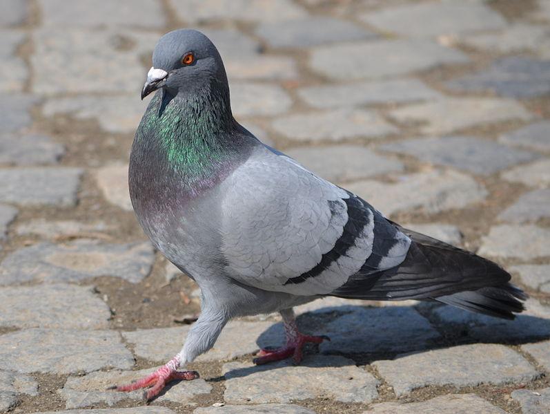 La paloma (Columba livia) ha logrado expandirse por el mundo gracias a la asociación con los humanos.