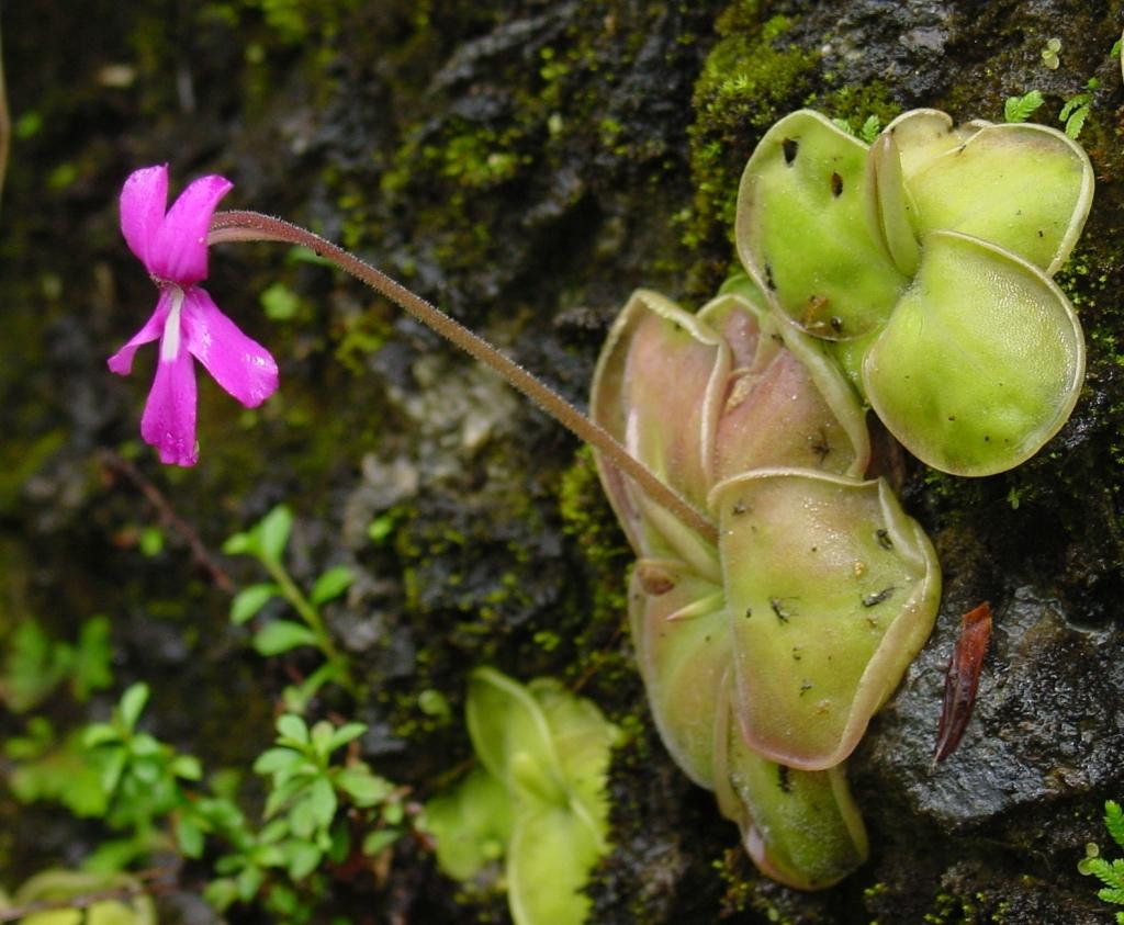 Planta carnívora de la especie Pinguicula moranensis