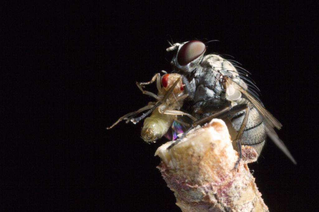 Coenosia attenuata, una pequeña mosca depredadora.