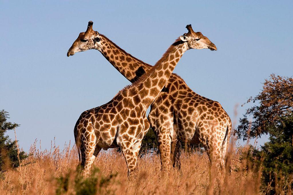 Machos de jirafas (Giraffa camelopardalis) se enfrentan en un duelo por el territorio.