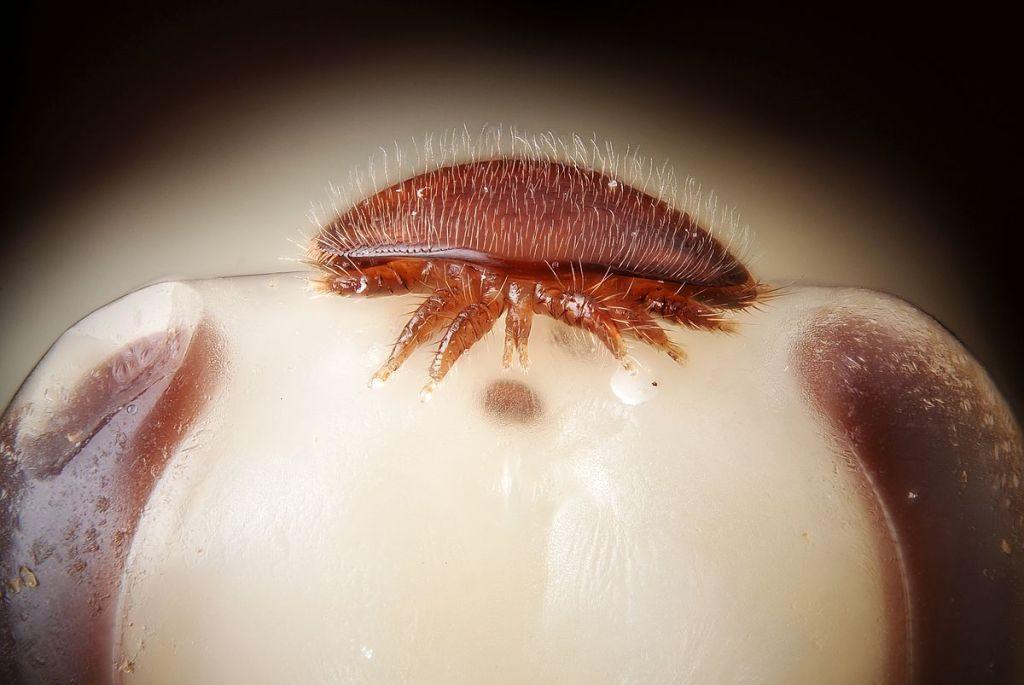 Ácaro Varroa destructor sobre la cabeza de una ninfa de abeja