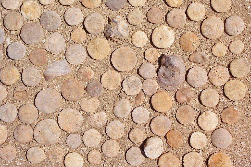Fósiles de nummulites y algunos bivalvos encontrados en Egipto.