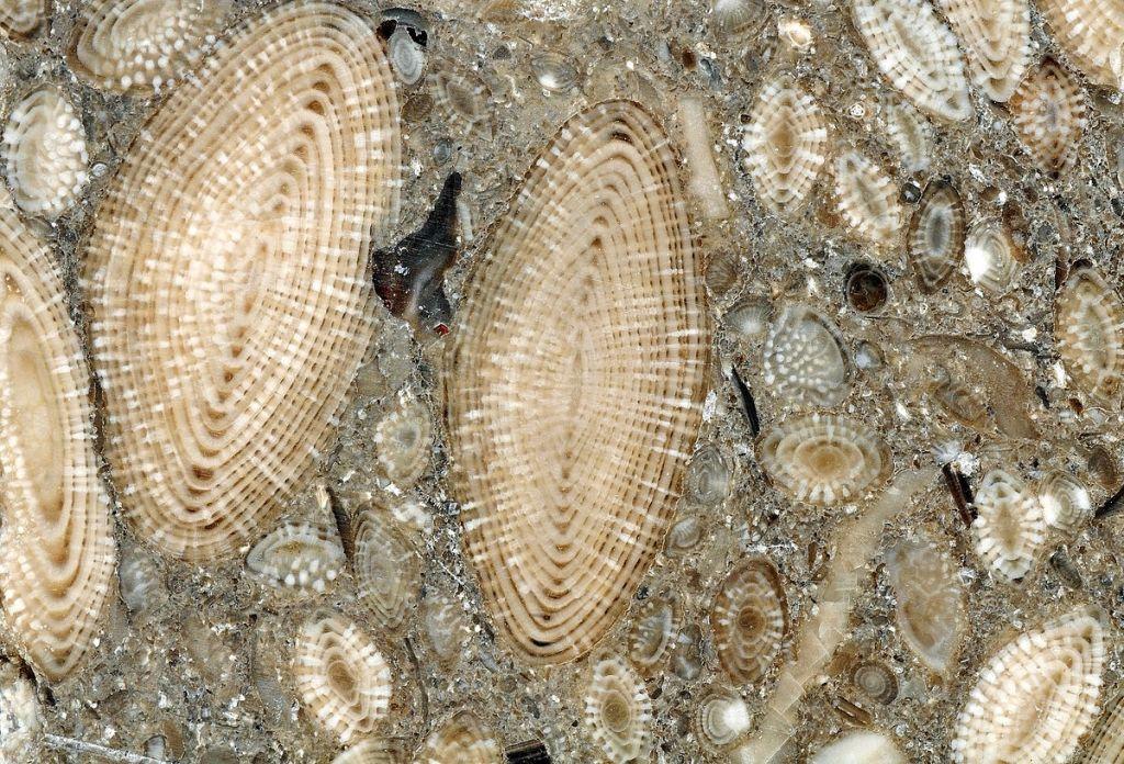 Fósiles de nummulites