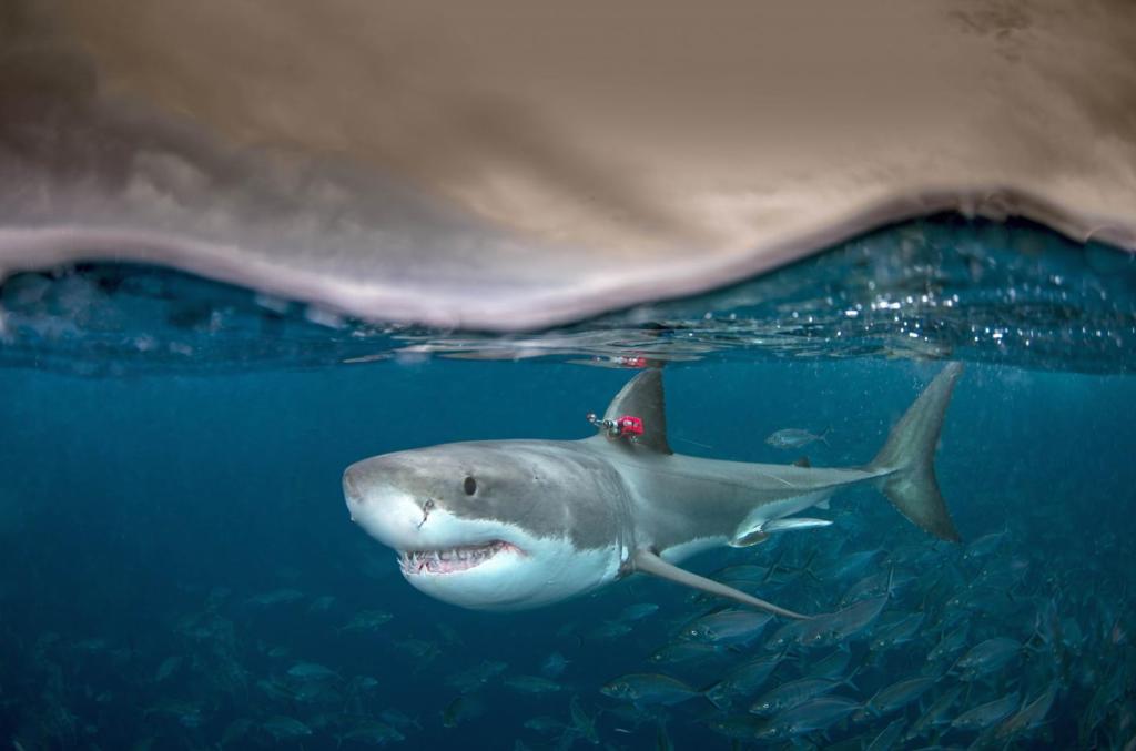 Tiburón blanco (Carcharodon carcharias) con un dispositivo de seguimiento en la aleta.