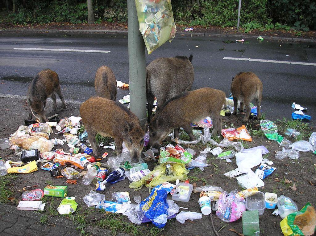 Hembra de jabalí con sus jabatos rebuscando entre la basura a las afueras de Berlín.