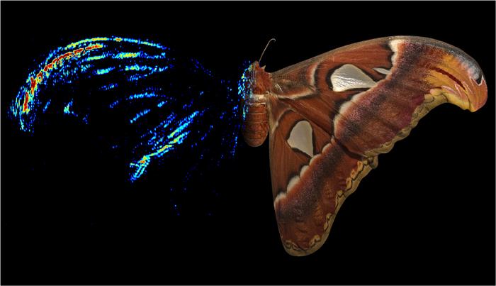El color rojo indica los lugares donde el ala de la mariposa atlas (Attacus atlas) refleja el sonido con más intensidad.