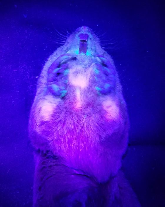Una tuza iluminada con luz ultravioleta.
