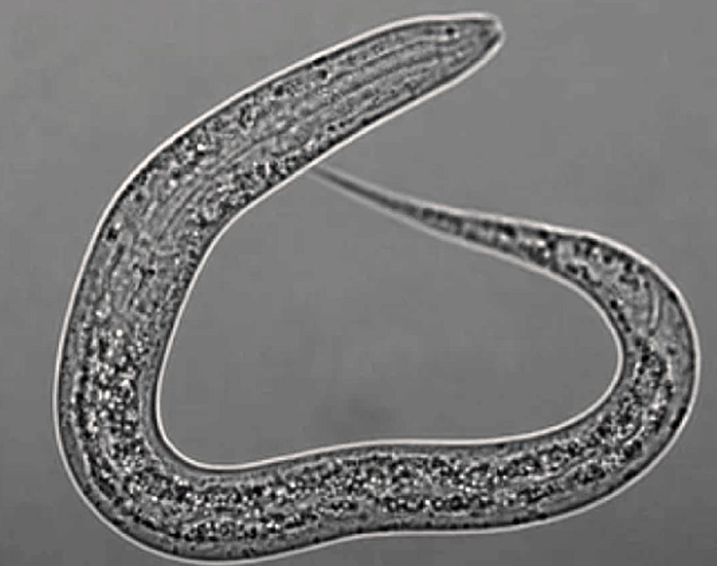 Las madres de Caenorhabditis elegans producen leche de gusano